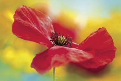 METNWS-05-27-21 MEMORIAL DAY – POPPIES_PHOTO