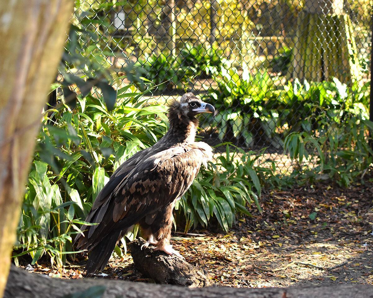 Virginia Zoo Photo 2 Vulture.jpg