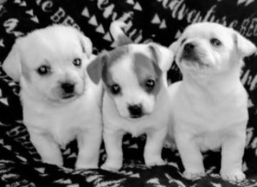 3 POOCHI puppies, 2 males and