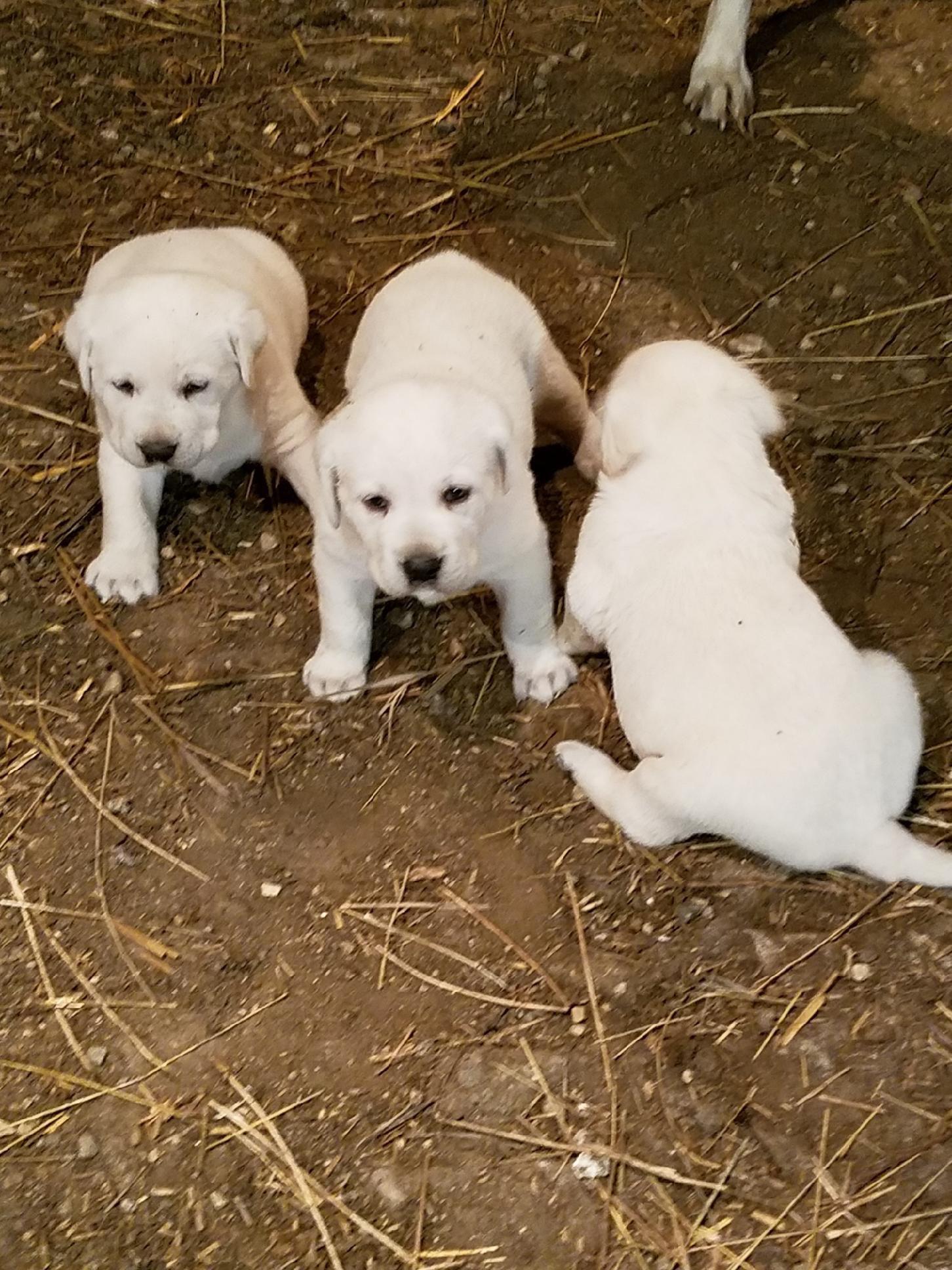 Lab puppies AKC image 2