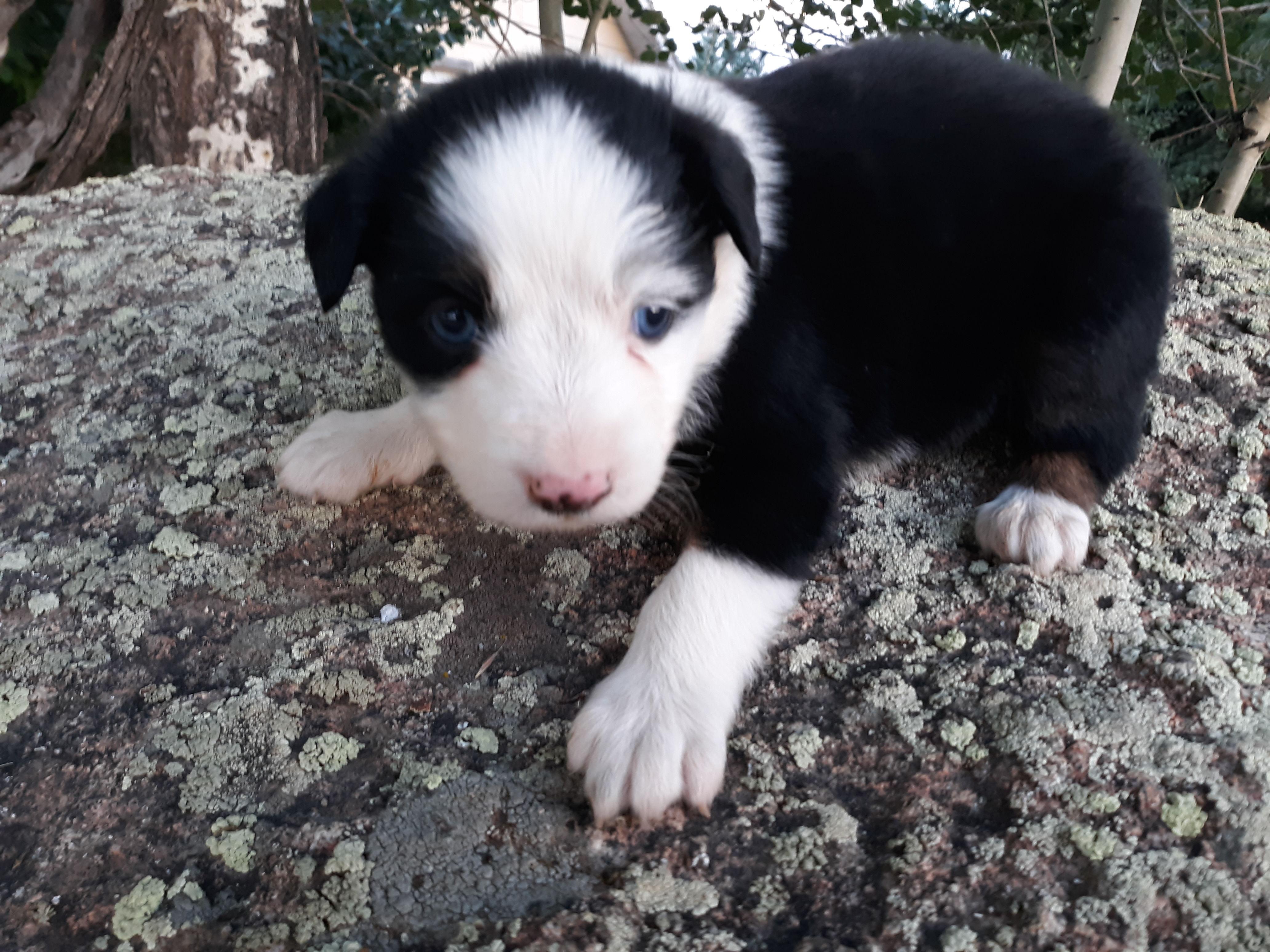 Mini Aussie puppies image 1
