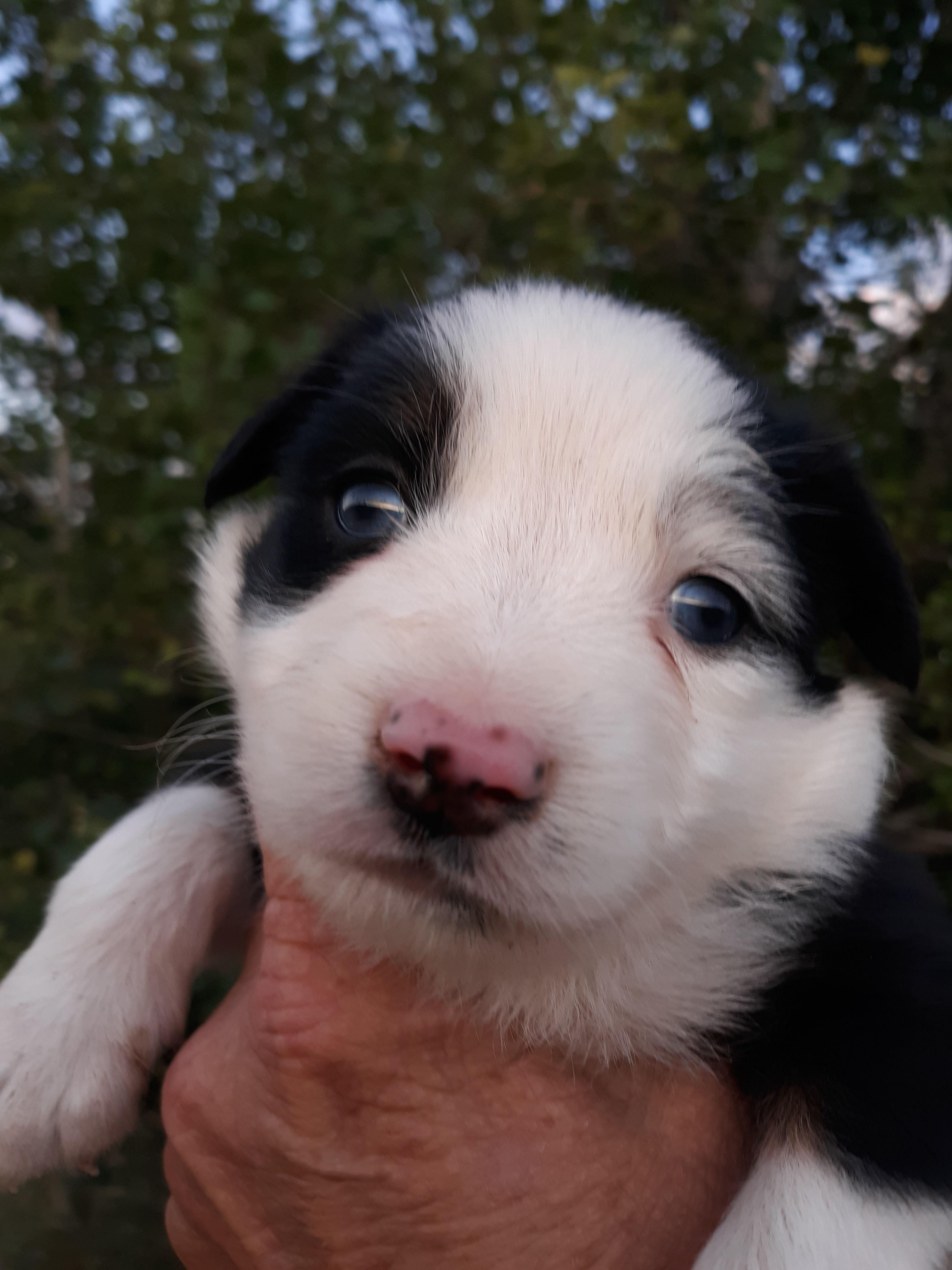 Mini Aussie puppies image 2