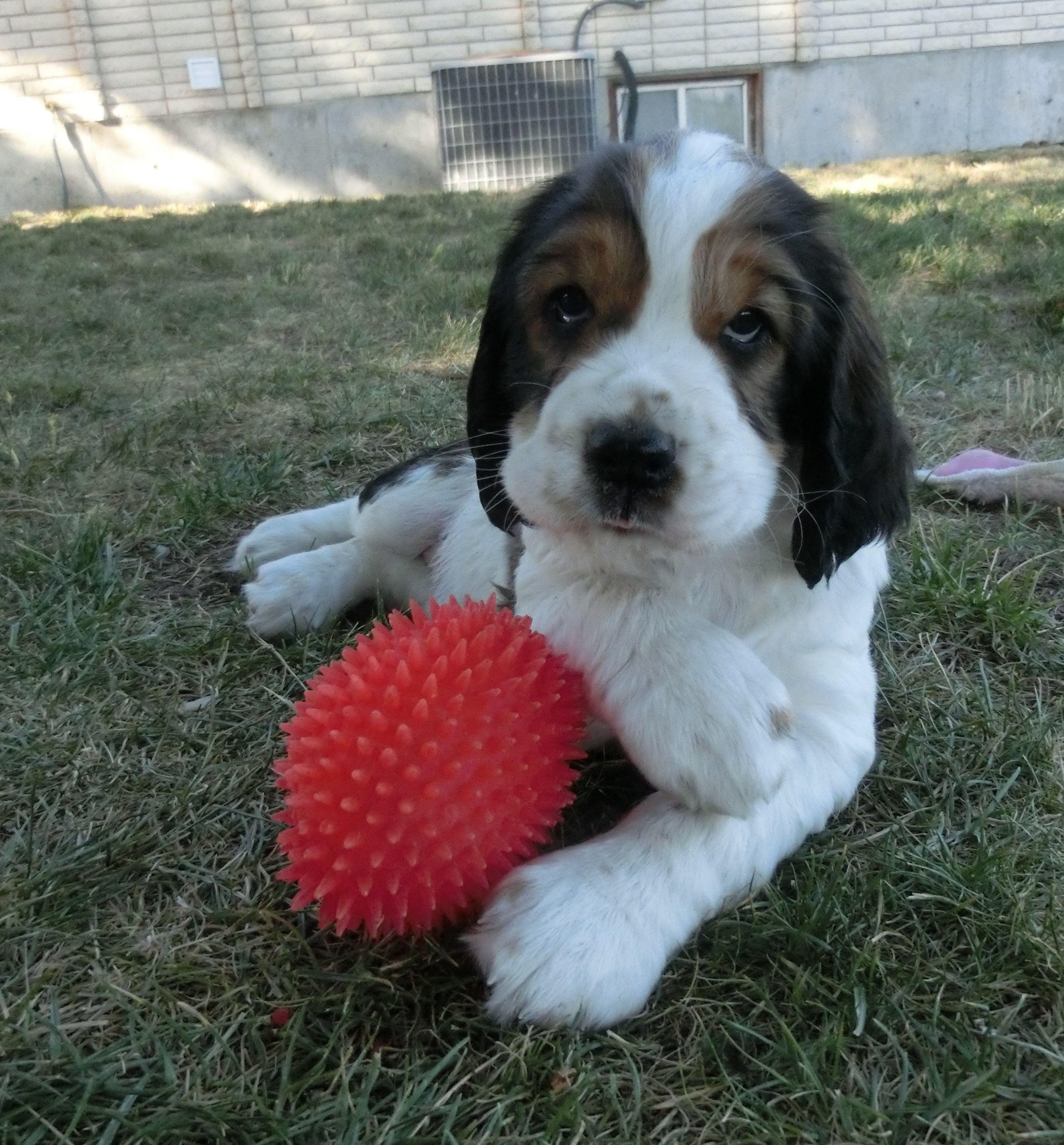 English Springer Spaniel puppy image 1
