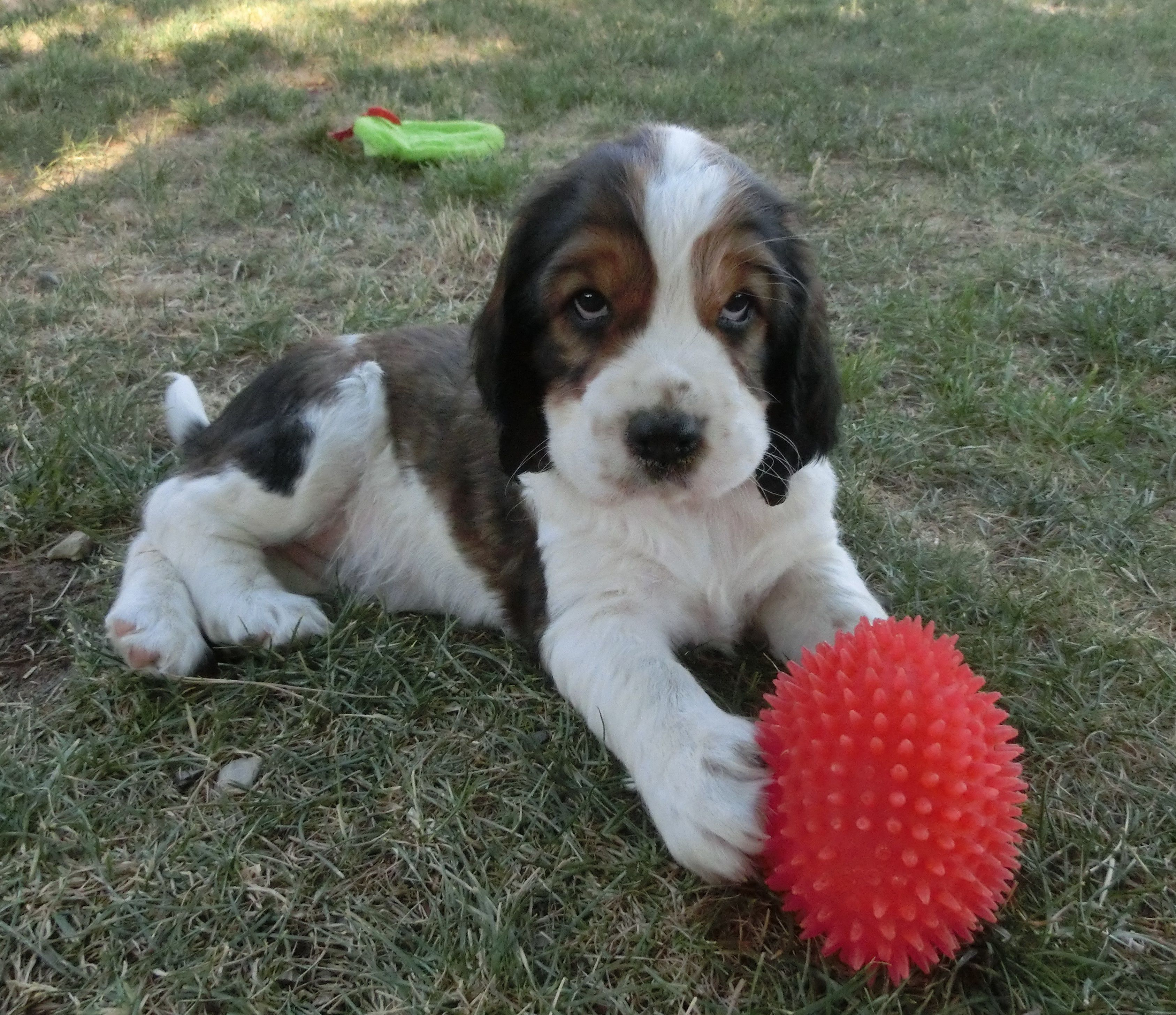 English Springer Spaniel puppy image 2