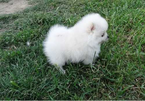 ADORABLE TEACUP POMERANIAN AVAILABLE FOR RE-HOMING image 1
