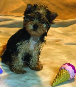 Home Raised Champion Line Male Yorkie Puppy