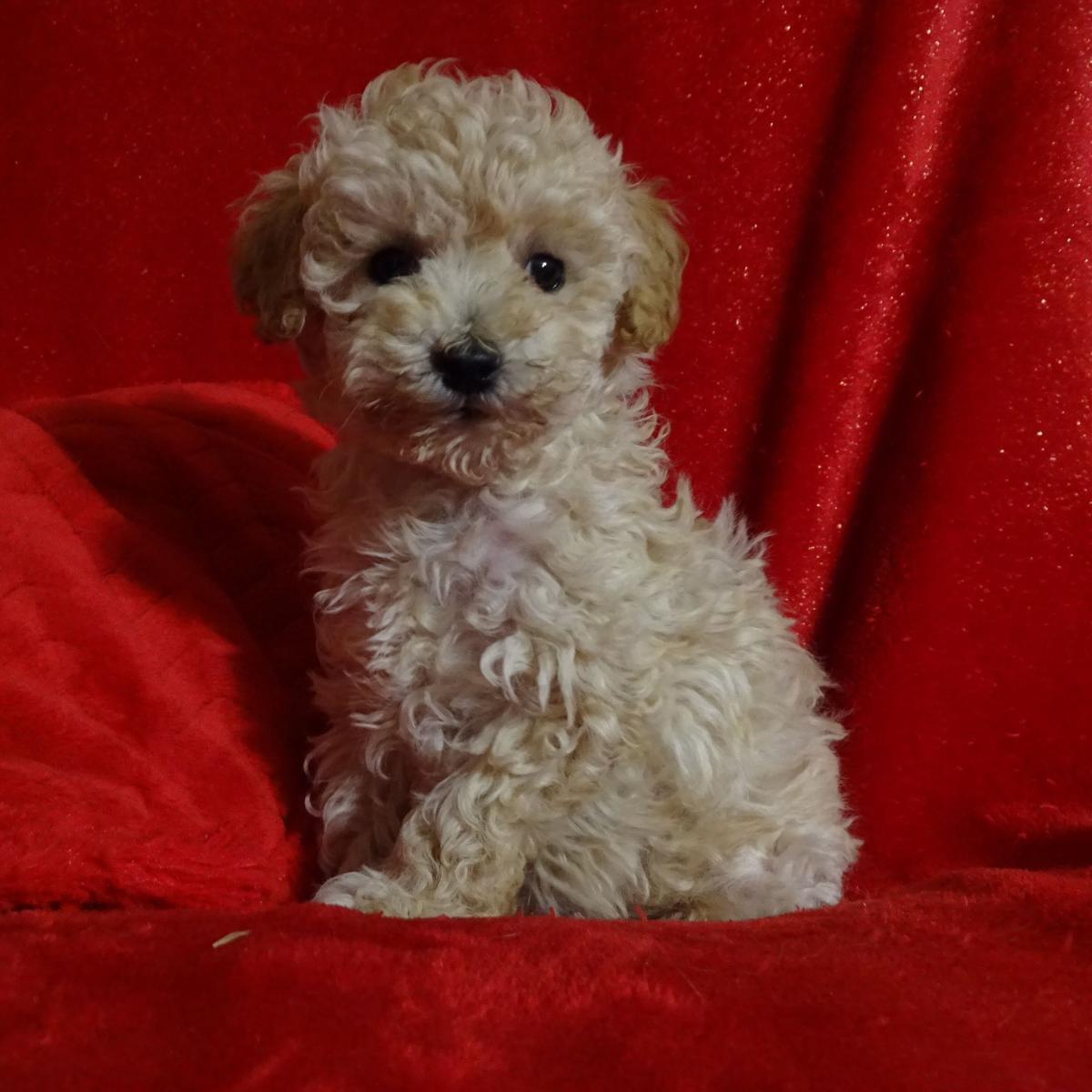 MINI POODLE Puppies, males $600, females $800,  YORKIE-Chihuahua puppies $600 image 1