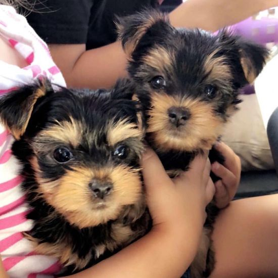 yorkie pupapies male and female image 1