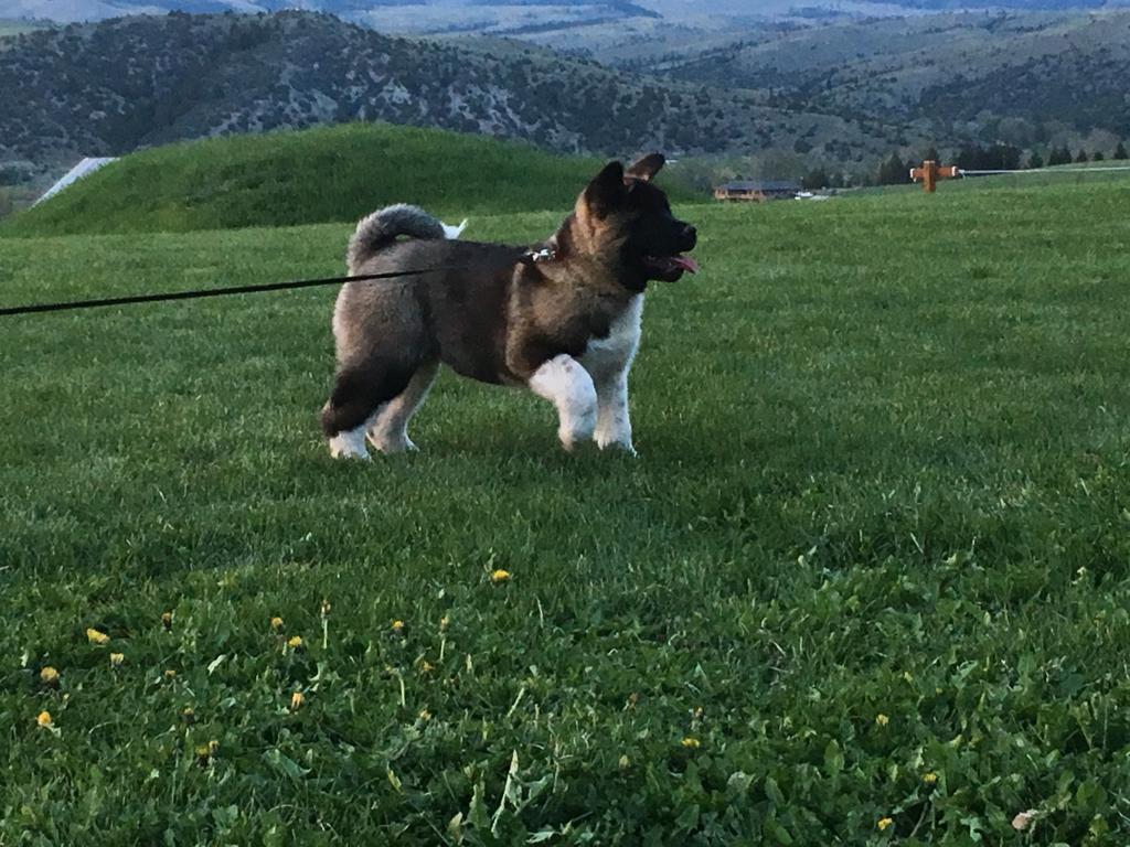 Akita puppy image 1