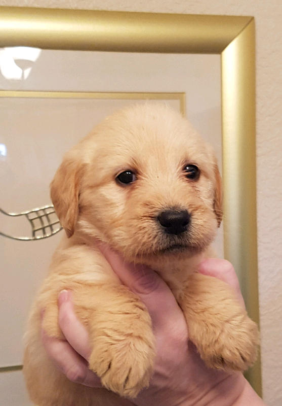 F1 Labradoodle Puppies available image 1