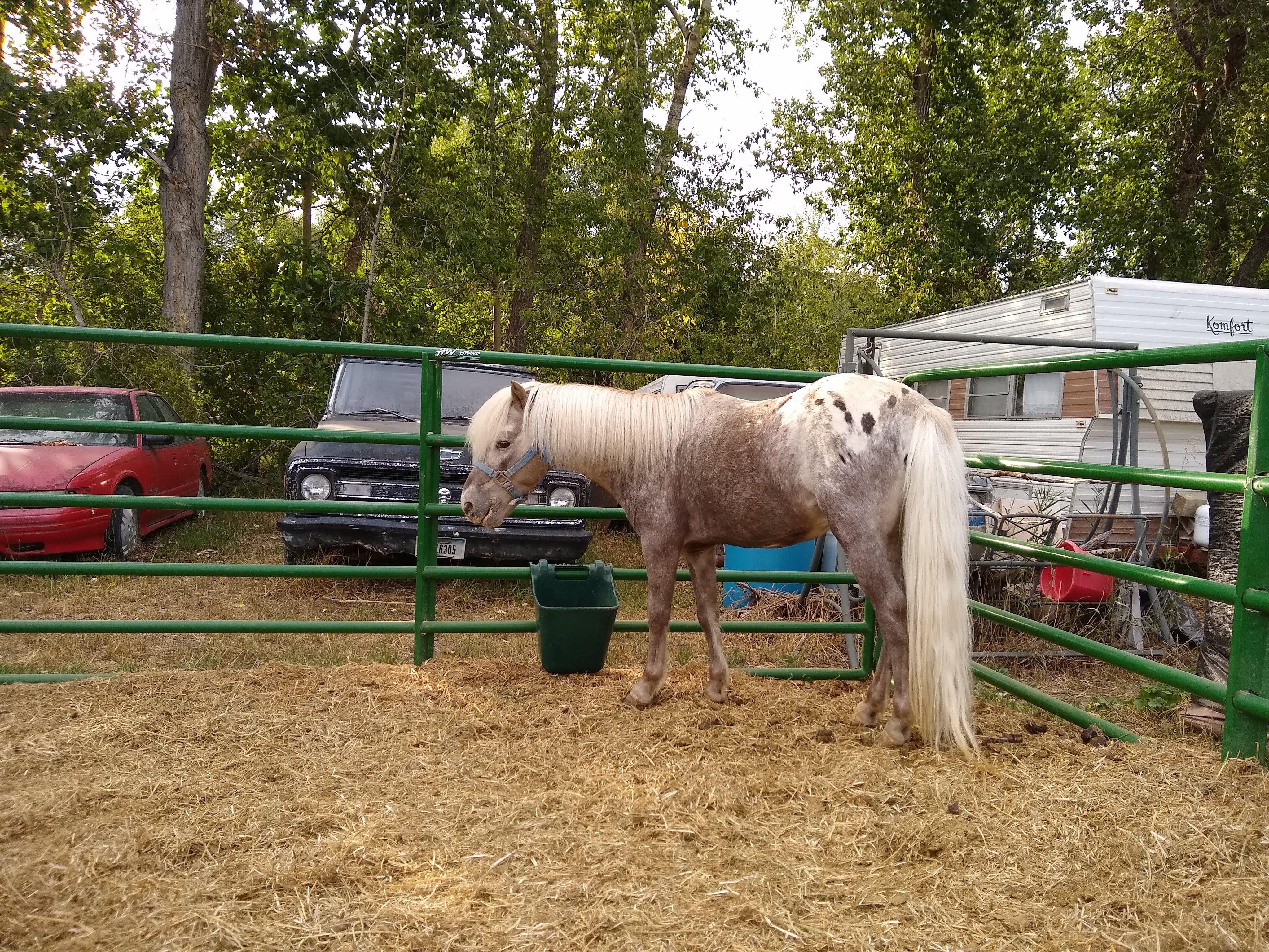 FREE MINIATURE HORSES image 1