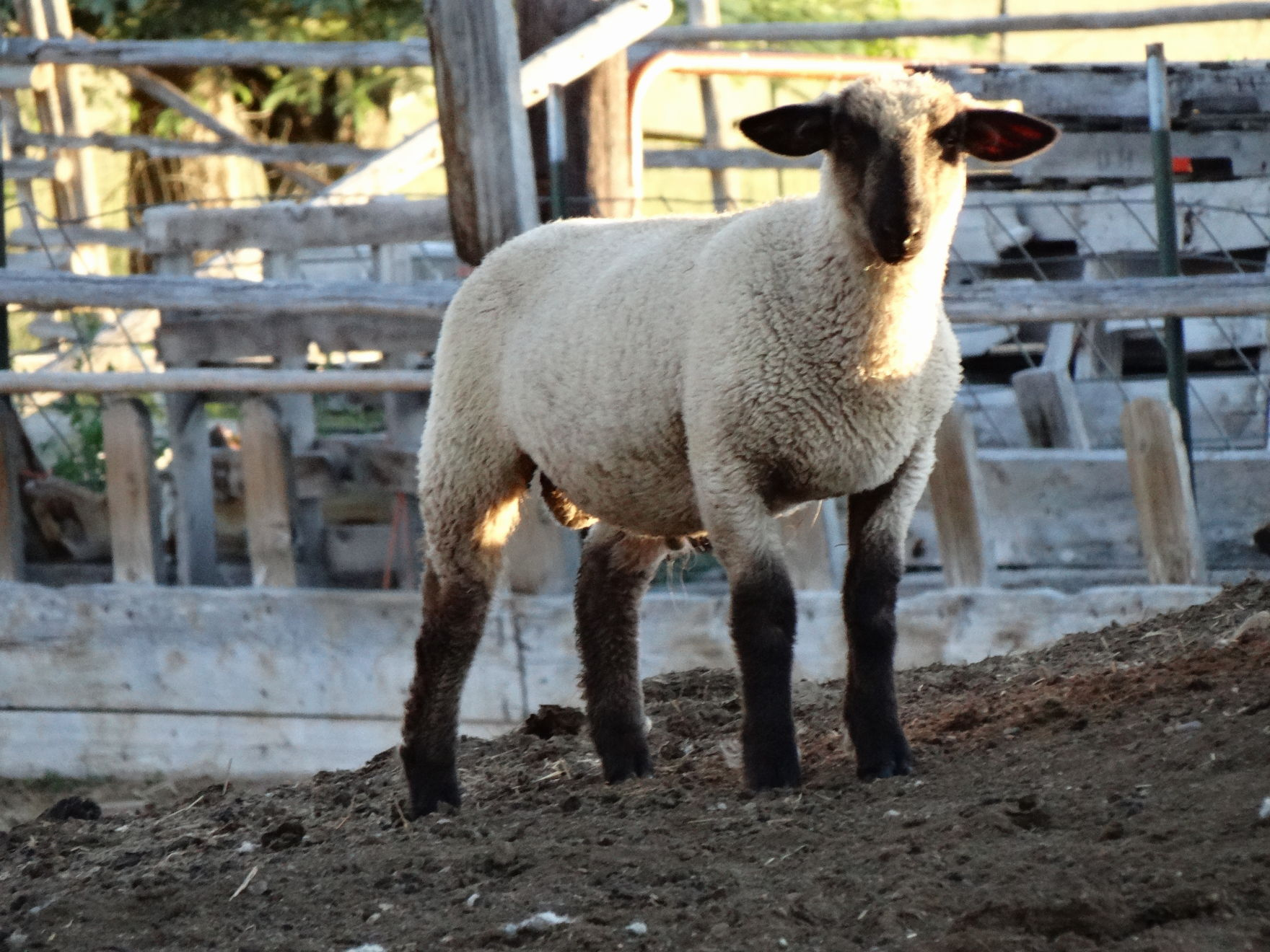 Quality genetically sound Suffolk-Hamp Crossbred Rams 4