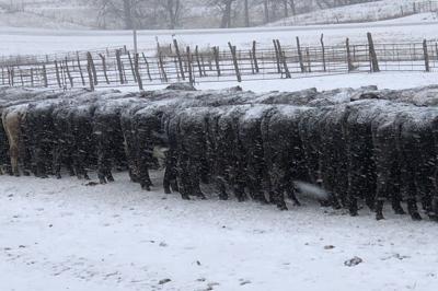 Cattle don't mind snow (copy)