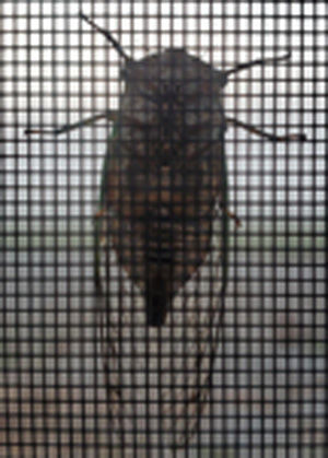 swarm locust