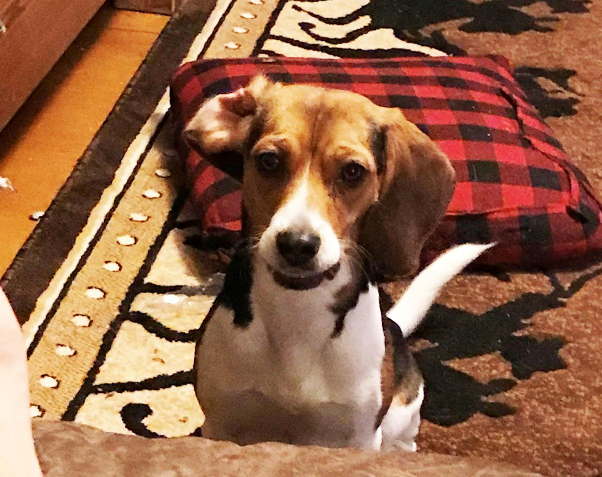 bitterroot family enlists internet to help find two lost beagles