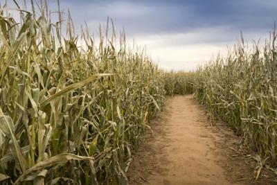 corn maze stockimage