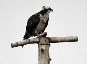 Her Highness is back: Osprey matriarch returns to Lolo nest