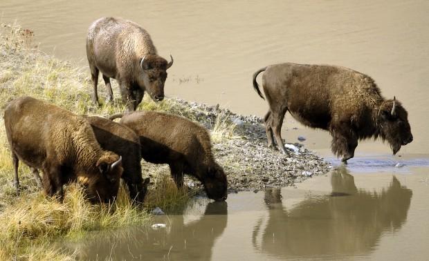 102811 bison