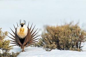 US eases land restrictions meant to protect sage grouse across 11 Western states