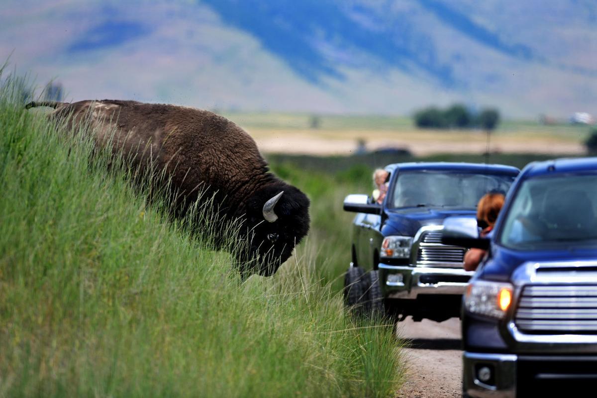 062319 bison-1-tm.jpg (copy)