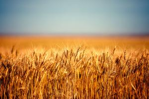 Montana wheat may benefit from U.S.-Mexico-Canada trade agreement; other impacts unclear
