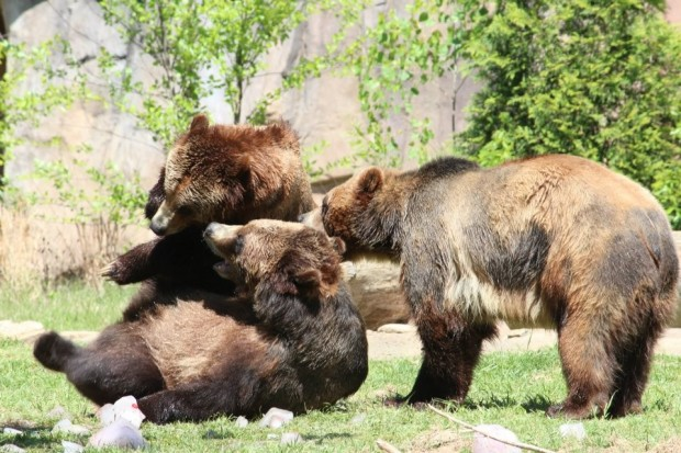 Three grizzly bears orphaned as cubs