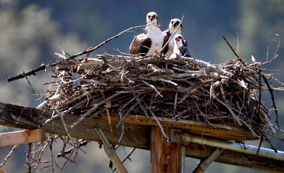 071918 osprey chick1 kw.jpg