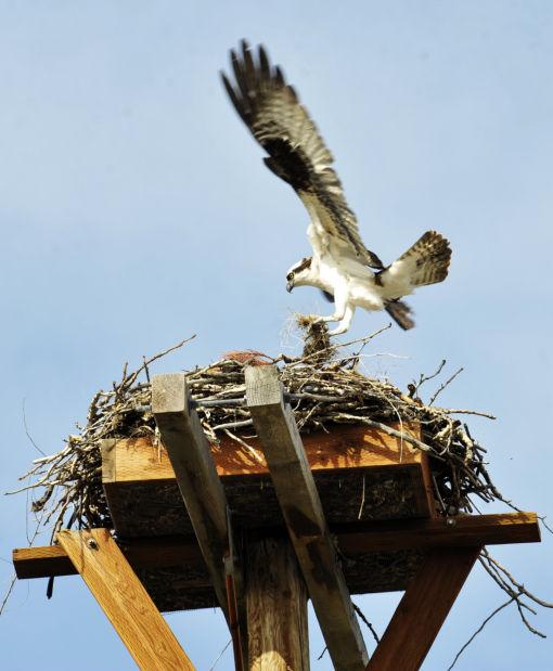 040814 osprey 01 en.jpg