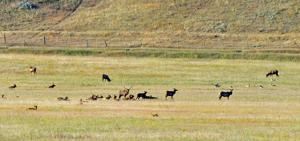 Managing Montana's elk wealth is causing heartburn for landowners, FWP and hunters