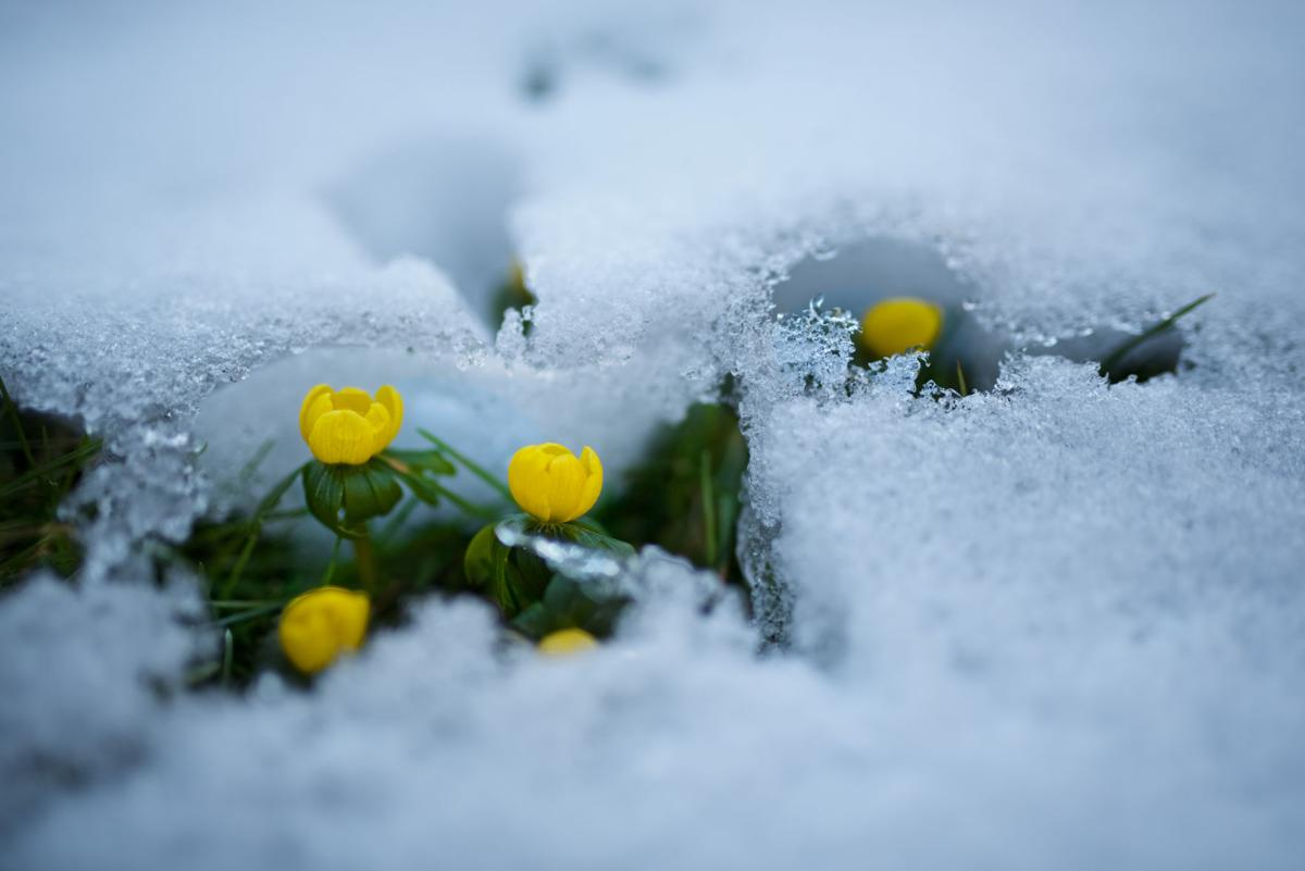 Buttercups in snow