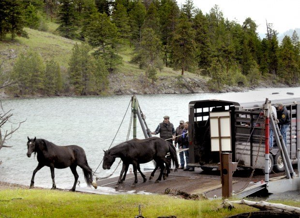 More Wild Horses Make Move To Flathead S Wildhorse Island