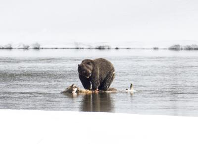 Grizzly bear on bison carcass in the Yellowstone River