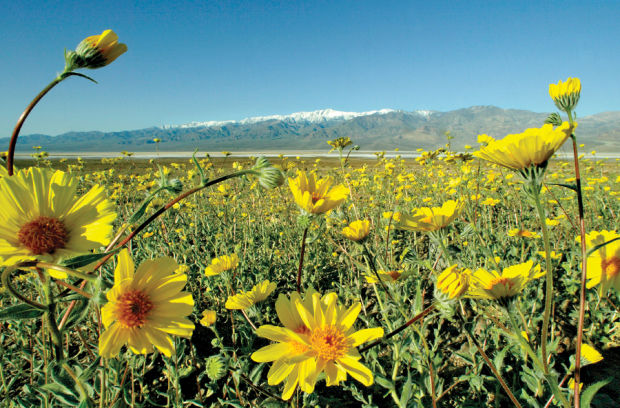 Wildflowers bloom on the edge of Badwater