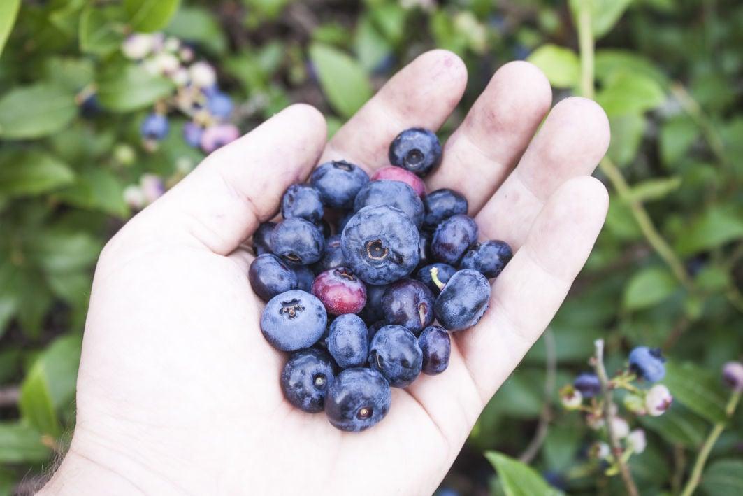 Handful of huckleberries