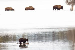 Groups prepare to sue over grazing in Wyoming grizzly range