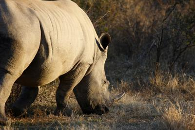 A rhinocerous on the Madikwe game reserve in South Africa.