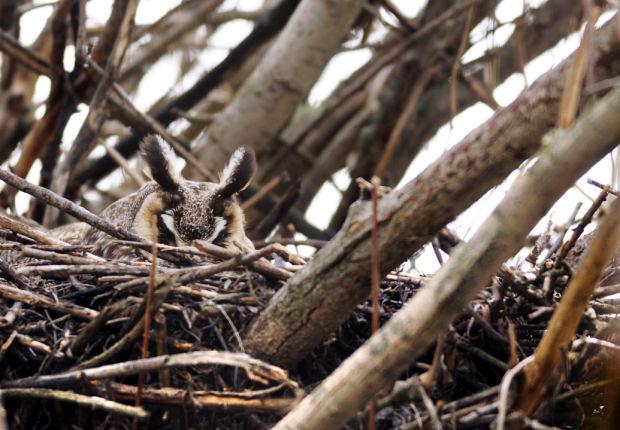 042513 Owl Nest 01 hp.jpg