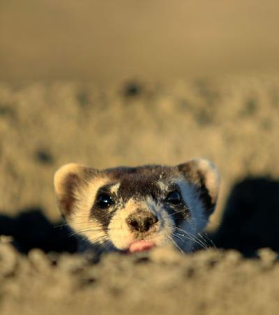Black-footed ferret peeks out of burrow
