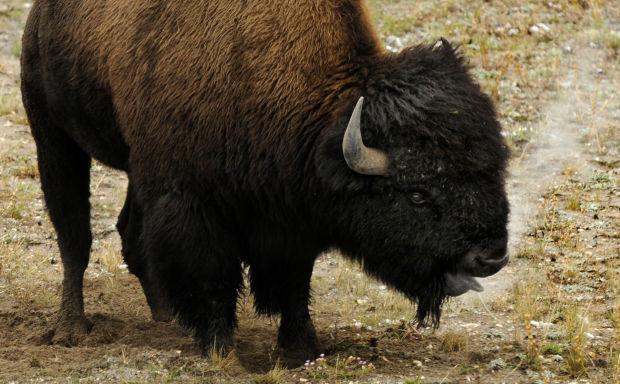 A bison snorts