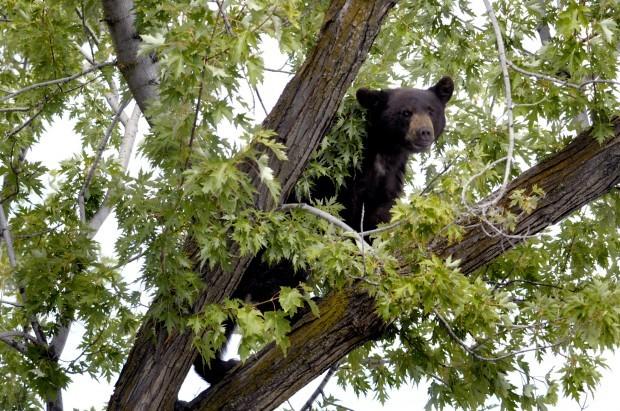 090910 bear in tree2 kw.jpg