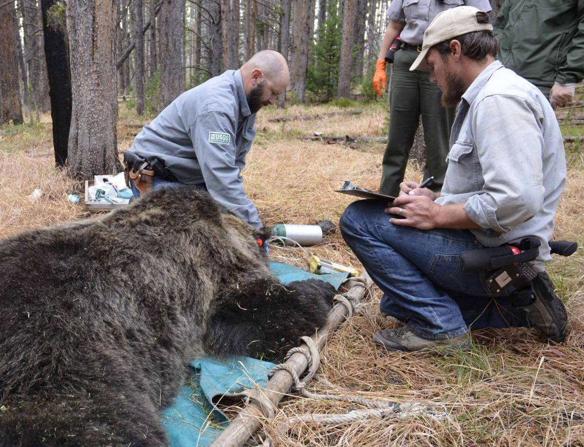 grizzly capture
