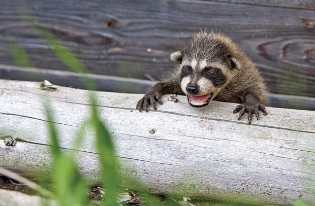 092712 raccoon