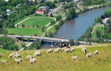 Mount Jumbo sheep
