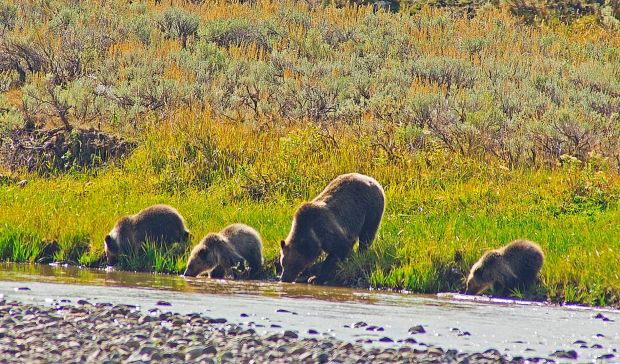 Yellowstone grizzly and cubs