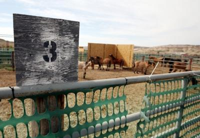 Wild horses are separated in pens at the BLM's Britton Springs facility