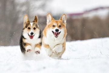 Corgi dogs bounding over the snow
