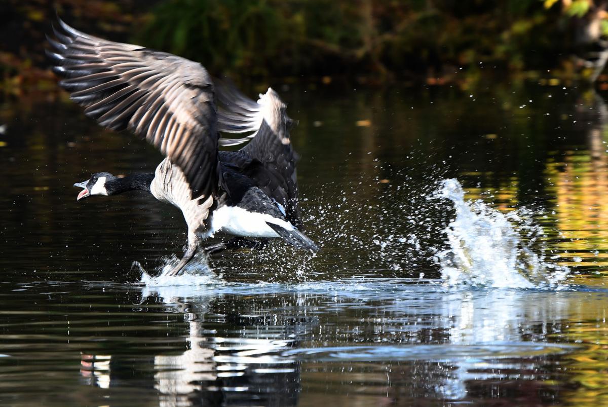 101217 urban geese1 kw.jpg