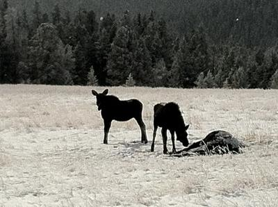 Two moose calves standing over the body of their dead mother