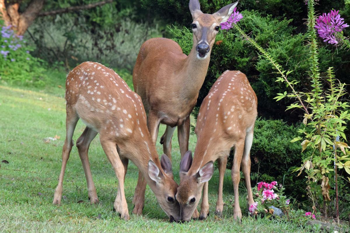 Dirty Fingernails Tips On Keeping Deer From Eating Garden