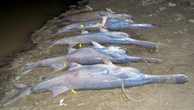 052710 paddlefish two